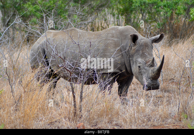 White Rhino in Kruger National Park South Africa - Stock Image