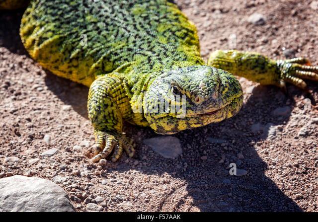 Yellow-green lizard (lacertilia) in the Sahara desert, Morocco. - Stock Image