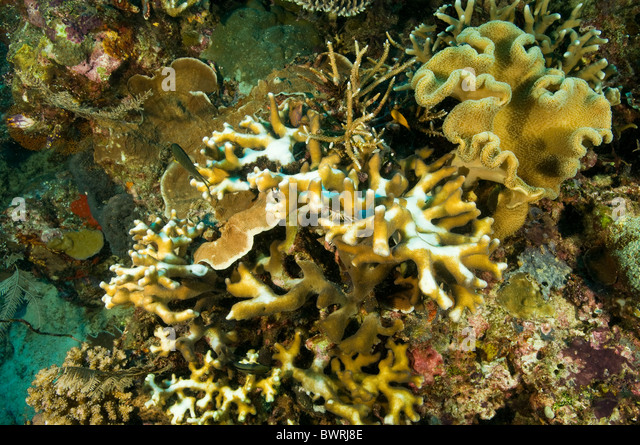 Bleaching hardcorals due from high water temperatures Raja Ampat Indonesia - Stock Image