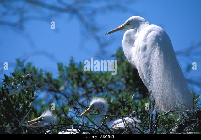 Rookery Heronry Nesting Egret with two chicks on nest - Stock Image