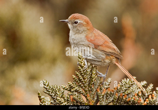 White-chinned Thistletail (Schizoeaca fuliginosa) perched on paramo vegetation in the highlands of Ecuador. - Stock Image