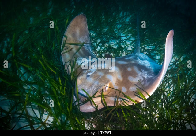 Southern Eagle Ray (Myliobatis australis) - Stock Image