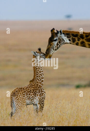 Female giraffe with a baby in the savannah. Kenya. Tanzania. East Africa. An excellent illustration. - Stock Image