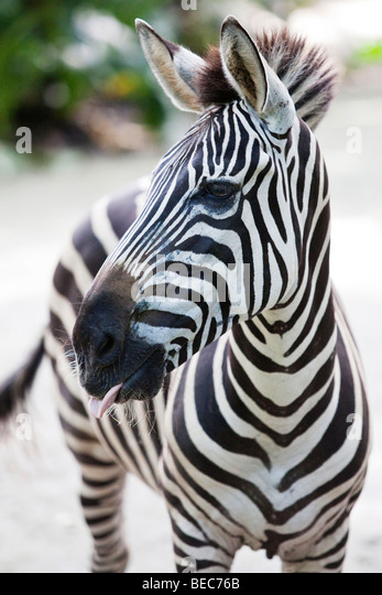 Portrait of a Zebra - Stock Image