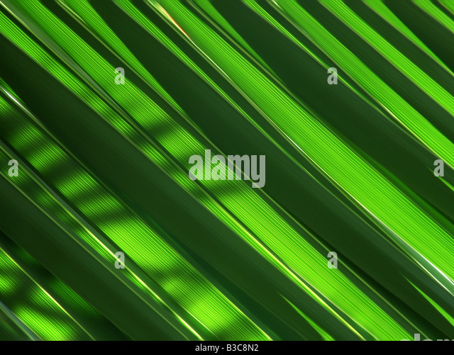 Green palm leaves leaf fresh light shade plant greenery exotic Green, palm, leaves, background, fresh, leaf, palms, - Stock Image