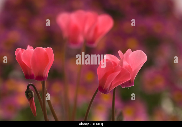 Cyclamen hederifolium, Cyclamen - Stock Image
