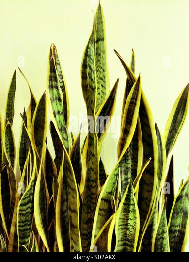 Indoor plant - Stock Image
