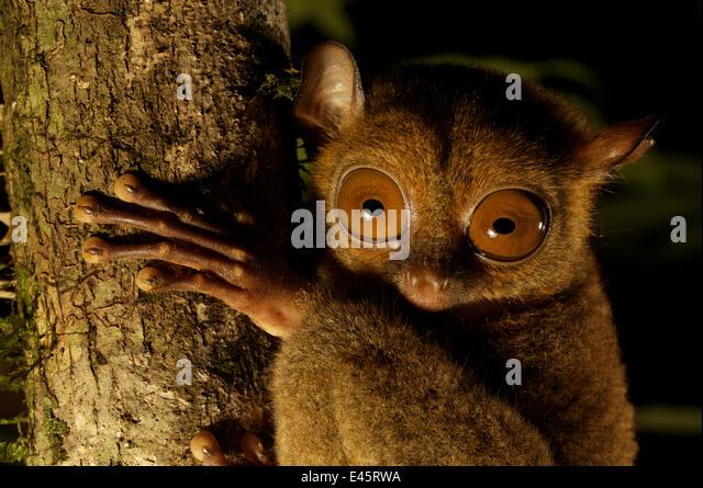 Head portrait of a Wild Western / Sunda tarsier (Tarsius bancanus) on tree trunk at night.  Danum Valley, Borneo, - Stock Image
