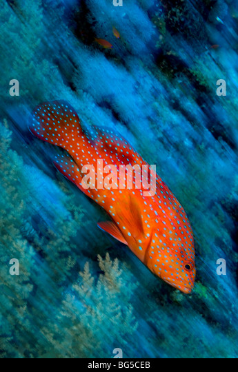 Red Sea coral reefs, Ras Mohammed, national park, Egypt, grouper, fish, tropical reef, action, movement, underwater, - Stock Image
