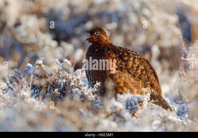 Red grouse, Latin name Lagopus lagopus scotica, calling among snow covered heather - Stock Image