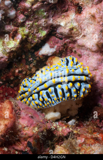 Blue candy nudibranch, (Phyllida varicosa), Southern Thailand, Andaman Sea, Indian Ocean, Southeast Asia - Stock Image