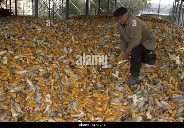 Ukraine Brovari former collective farm now privatized corporation worker corn pen - Stock Image
