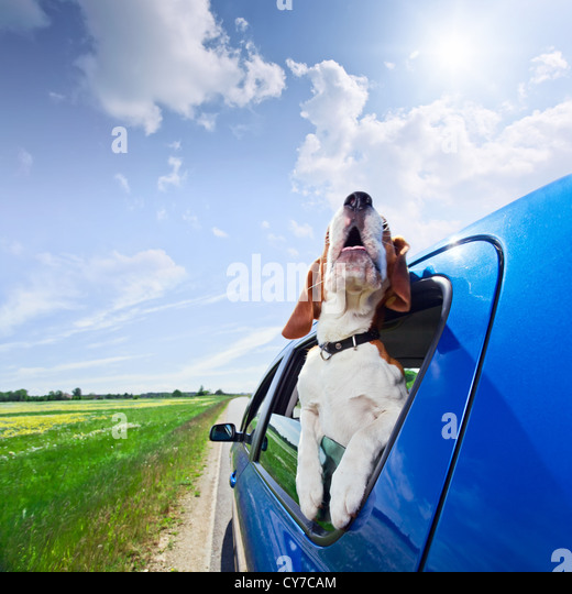 The cute beagle travels in the blue car. - Stock Image