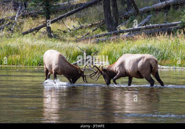 Struggling elk bulls 39 - Stock Image