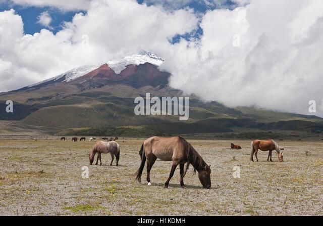 Wild Horses grazing near Cotopaxi, Cotopaxi National Park, Ecuador - Stock Image