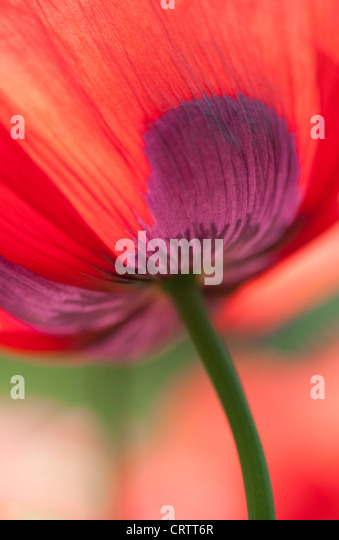 red poppy flower - Stock Image