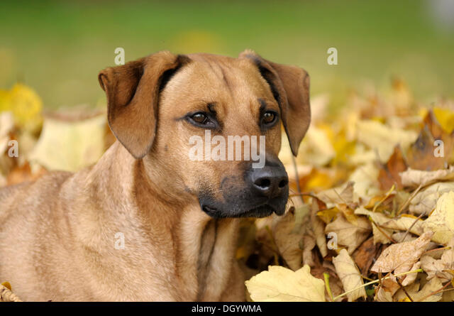 Mixed-breed Rhodesian Ridgeback, portrait in front of a pile of leaves - Stock Image
