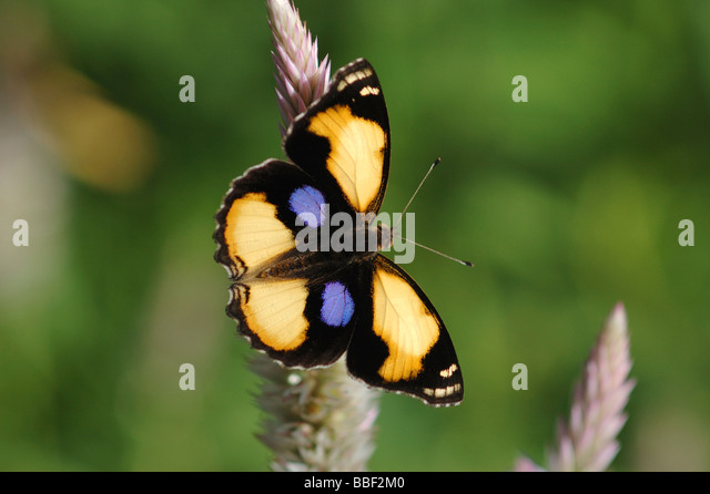 Yellow Pansy butterfly Junonia hierta in the tropical rainforest of Khao Sok National Park Southern Thailand May - Stock Image