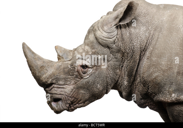 White Rhinoceros, Ceratotherium simum, 10 years old, in front of a white background, studio shot - Stock Image