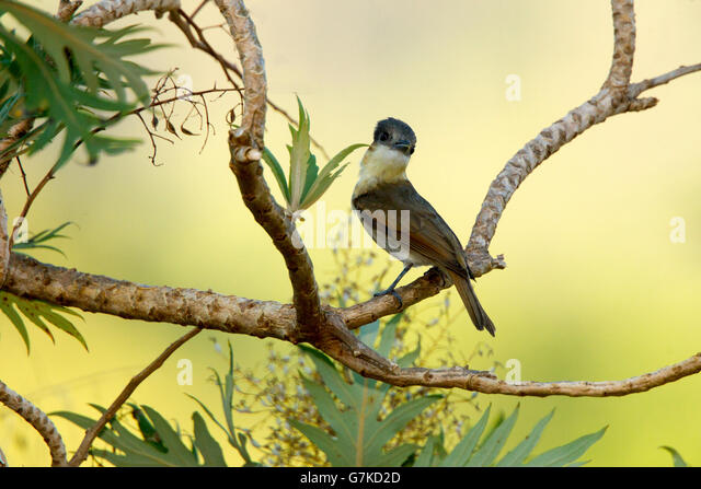 Rose-throated Becard  Pachyramphus aglaiae Tecic, Nayarit, Mexico 6 June      Adult Female     Tityridae - Stock Image