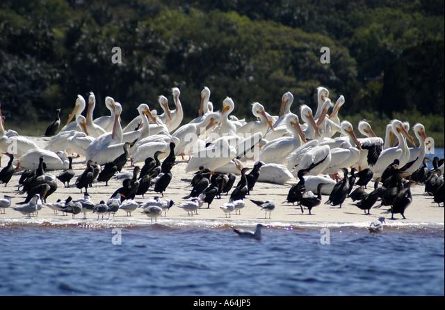 Cedar Keys Florida NWR flock white pelicans - Stock Image