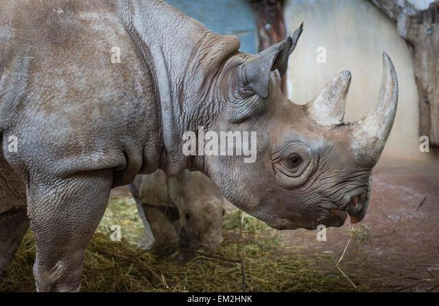 Black Rhinoceros (Diceros bicornis), Zürich Zoological Garden, Zürich, Switzerland - Stock Image