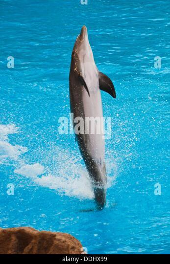 Dolphin Show  Loro Parque  Puerto de la Cruz  Tenerife  Canary Islands  Spain. - Stock Image