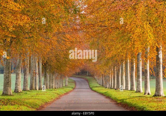 Avenue of colourful trees in autumn, Dorset, England. November 2014. - Stock Image