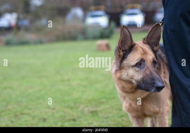 Suffolk Constabulary German Shepherd police dog - Stock Image