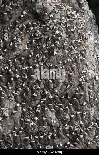 Northern Gannet Sula bassana colony Hermaness Unst Shetland Scotland April - Stock-Bilder