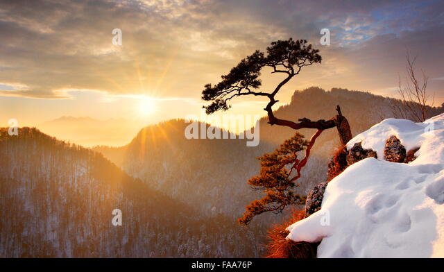 Alone single pine tree at Sokolica cliff Pieniny National Park at sunset, Poland - Stock Image