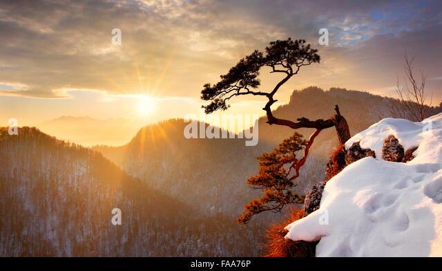 Alone single pine tree at Sokolica cliff Pieniny National Park at sunset, Poland - Stock Image