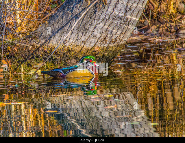 Colorful Male Wood Duck reflecting in wooded pond, USA - Stock Image