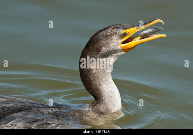 Juvenile Double Crested Cormorant (Phalacrocorax auritus) with fish about to be swallowed - Stock Image