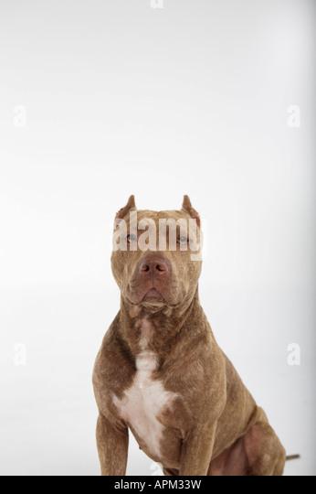 Pitbull dog portrait - Stock Image
