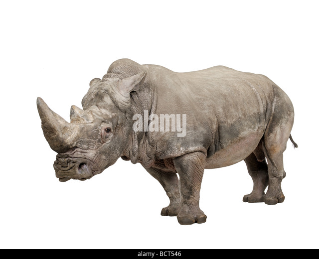 White Rhinoceros or Square lipped rhinoceros, Ceratotherium simum, 10 years, in front of a white background, studio - Stock Image