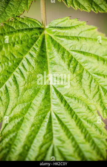 Green leaf. Nature detail with organic texture. Natural background. - Stock-Bilder