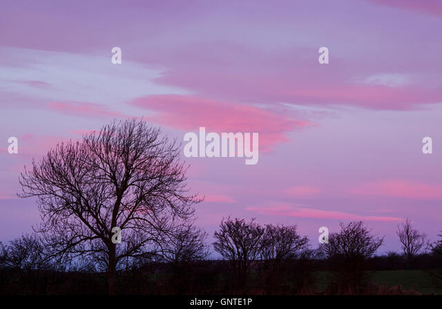 A line of trees in silhouette beneath a colourful blue and pink sky at daybreak - Stock Image