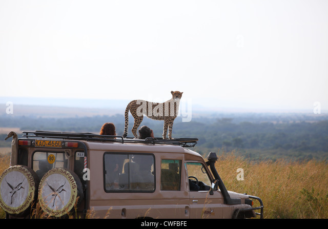 Cheetah (Acinonyx jubatus) on top of tourist vehicle in Masai Mara National Park, Kenya - Stock Image