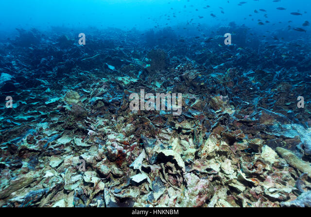 Climate phenomenon El Niño, Coral Reef destroyed by coral bleaching and crown-of-thorns starfish, Indian Ocean, - Stock Image