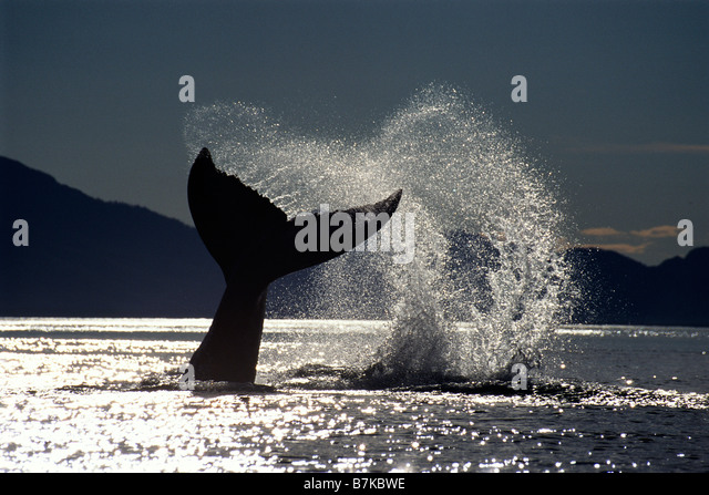 Humpback whale lobtailing, Icy Strait, Southeast Alaska - Stock Image