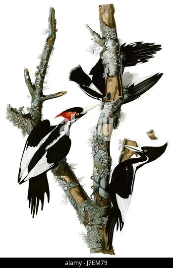 JOHN JAMES AUDUBON (1785-1851) Franco-American naturalist, ornithologist and painter. A plate showing Ivory Billed - Stock-Bilder