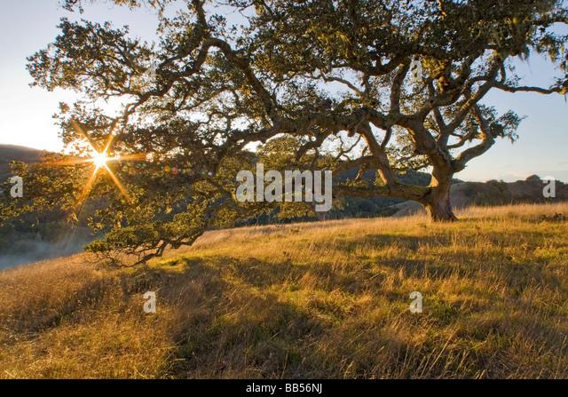 Coast Live Oak Tree and Grassland - Santa Lucia Preserve, California. - Stock Image