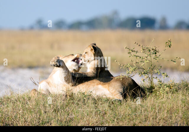 A lioness plays with her cub - Stock Image
