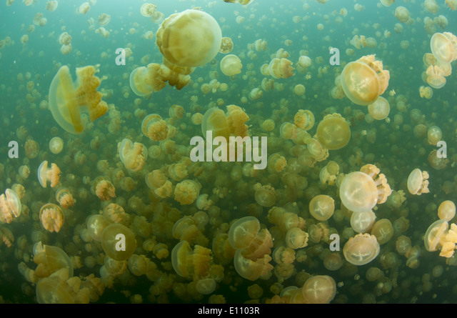 A group of jellyfish, Jellyfish lake, Palau (Mastigias) - Stock-Bilder