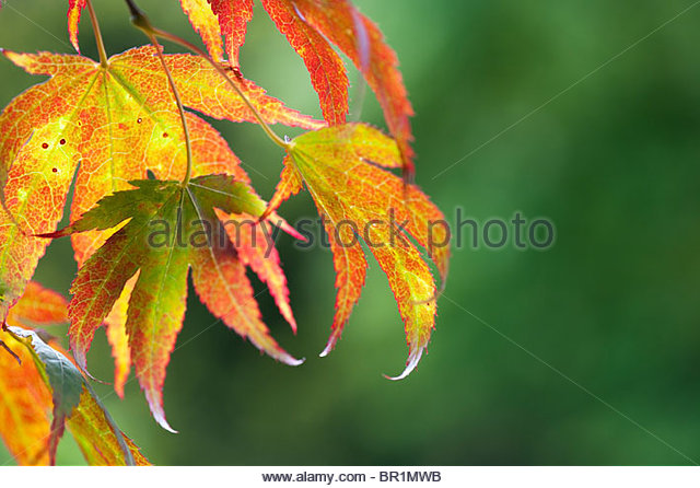 Acer Palmatum, Japanese maple tree leaves changing colour in autumn - Stock Image