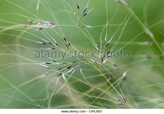 Stipa tenuissima. Mexican feather grass in june - Stock Image