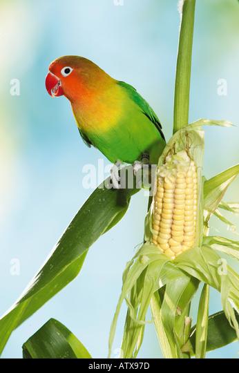 Fischer's Lovebird at maize corn / Agapornis personatus fischeri - Stock Image