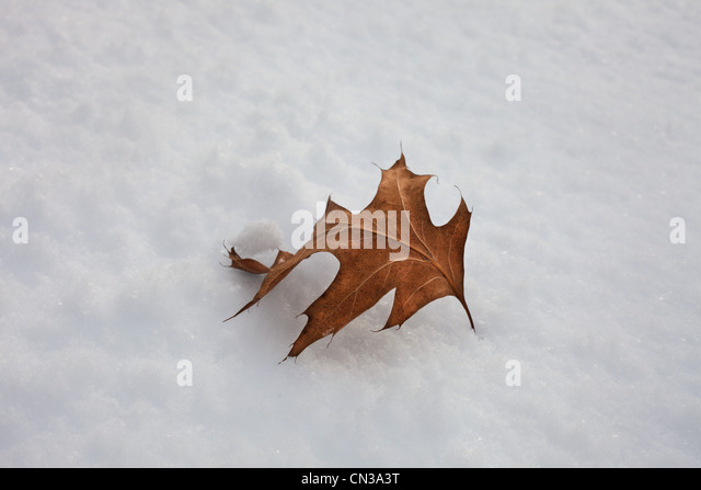 Single leaf in the snow - Stock Image