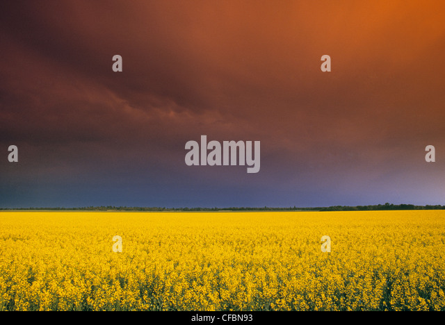 Canola field and storm sky Holland, Manitoba, Canada - Stock Image